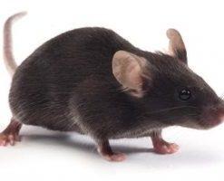 Hybrid Mice