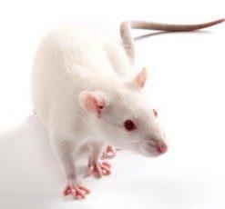 Inbred Rat